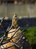Meerkat - suricate on stone — Stock Photo