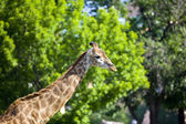 Giraffe on green background — Stock Photo