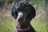 Portrait of a standard poodle head and shoulders — Stock Photo