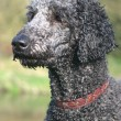 Perfect Poodle Portrait - Photo