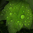 Leaf with giant waterdrops — Stock Photo
