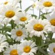 Daisies on white background — Stock Photo