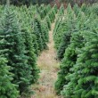 Christmas tree farm — Stock Photo #4626066