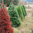 Stock Photo: Red Christmas Tree Standing out from crowd