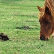 Stock Photo: Brown pony eating grass next to poop
