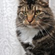 Stock Photo: Peculiar maine coon cat