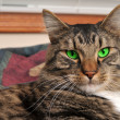 Maine Coon Cat with GREEN Eyes — Stock Photo