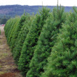 Oregon Christmas Tree Farm — Stock Photo