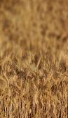 Fondo de trigo — Foto de Stock