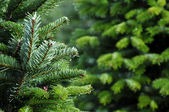 Christmas tree farm — Stockfoto