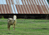 Pony standing in front of barn — Stok fotoğraf