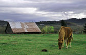 Brown pony eating grass in front of barn — Stock Photo