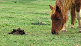 Brown pony eating grass next to poop — Stock Photo