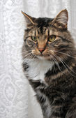 Peculiar maine coon cat — Stock Photo