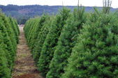 Oregon Christmas Tree Farm — Стоковое фото