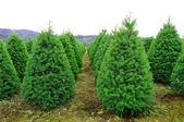 орегон рождественская елка ферма — Стоковое фото