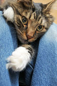 Cat laying inbetween legs — Stock Photo