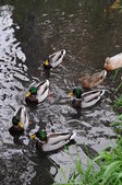 Ducks swimming in a pond — Stok fotoğraf