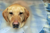 Injured Yellow Lab Dog with Cone — Стоковое фото