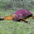 Dehydrated Tired Horse — Stock Photo