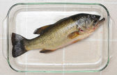 Largemouth Bass in a Glass Dish — Stock Photo
