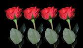 Roses background — Foto de Stock
