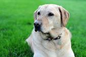 Yellow Lab Dog On Grass — Stock Photo