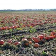 Pumpkin Patch Field - Stock Photo