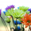Stock Photo: Multicolored Daisy Flowers