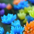 Multicolored Daisy Flowers - Stock Photo