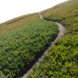 Ice Plant Field with Dirt Path - Stock Photo