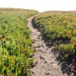 Ice Plant Field with Dirt Pathway - Stock Photo