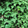 Ivy Growing on Adobe Brick Wall — Foto Stock #4646534
