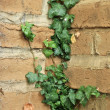 Ivy Growing on an Adobe Brick Wall — Stock Photo #4646604