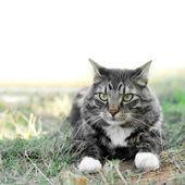 Maine coon huisdier kat buiten op gras — Stockfoto