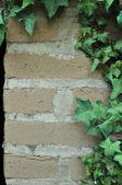 Břečťan roste na adobe cihlová zeď — Stock fotografie