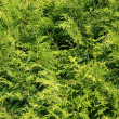 Thuja - Hintergrund — Stock Photo