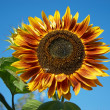 "Sonnenblume ""Ring of fire"" — Stock Photo"
