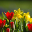 Tulpen und Narzissen - Stock Photo