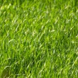 Gras - Hintergrund — Stock Photo
