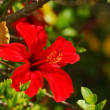 Roter Hibiskus - Stock Photo