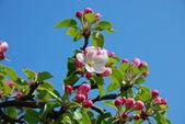 Apfelblüte — Stock Photo