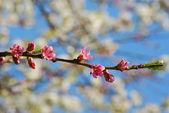 Pfirsichblüten — Stock Photo