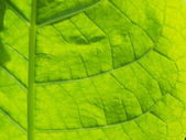 Nicotiana tabacum — Stock Photo
