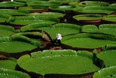 Seerosen im Botanischen Garten - Mauritius — Stock Photo