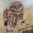 Stock Photo: Little Owl (Athene Noctua)
