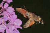 Butterfly reveler ( Macroglossum stellatarum ) — Stock Photo