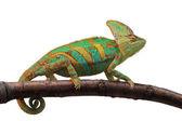 Green chameleon — Stock Photo