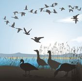 Migrating geese from lake shore — Stock Vector