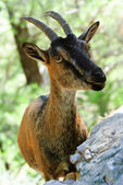 Portrait of a goat on natural background — Stock Photo